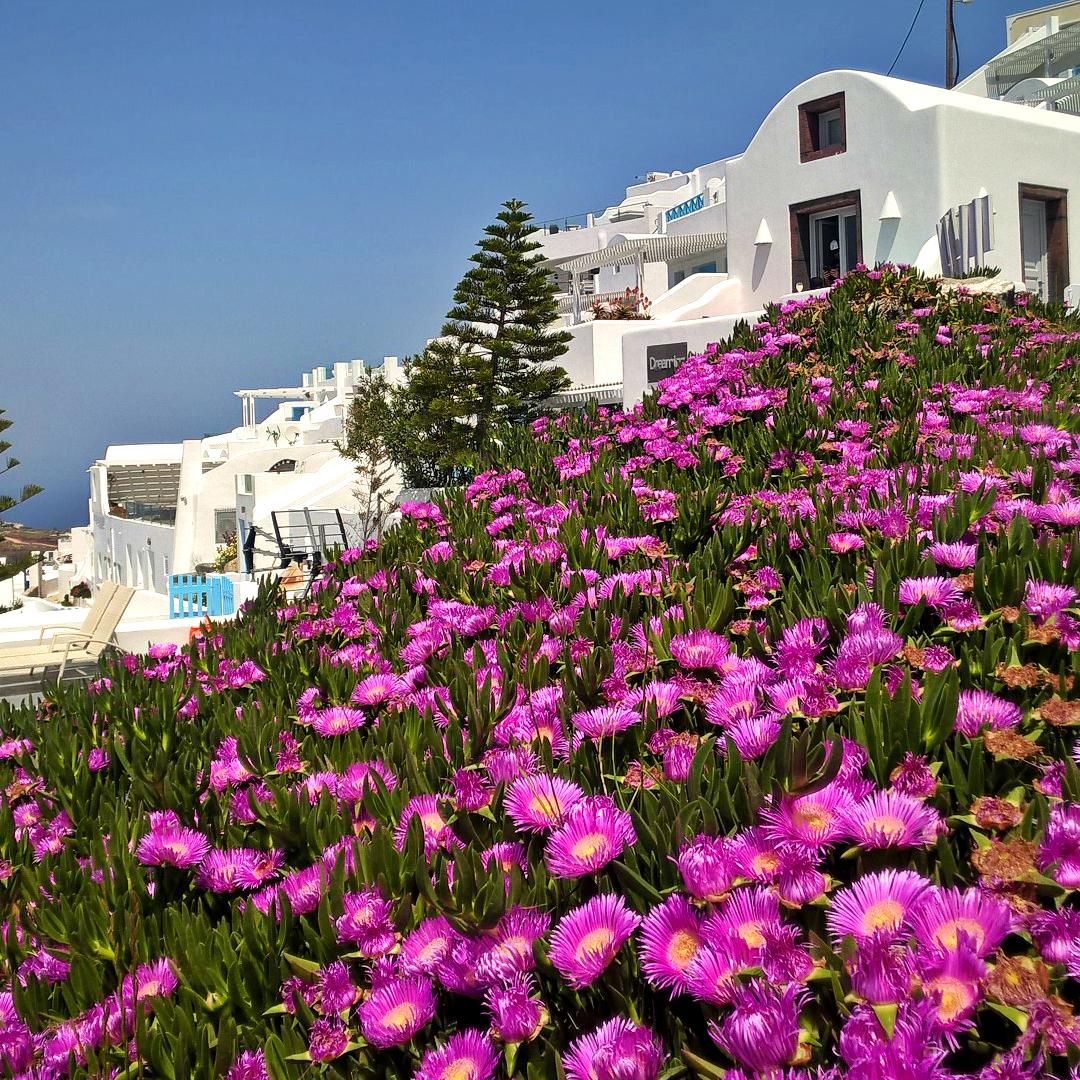 Санторини цветы