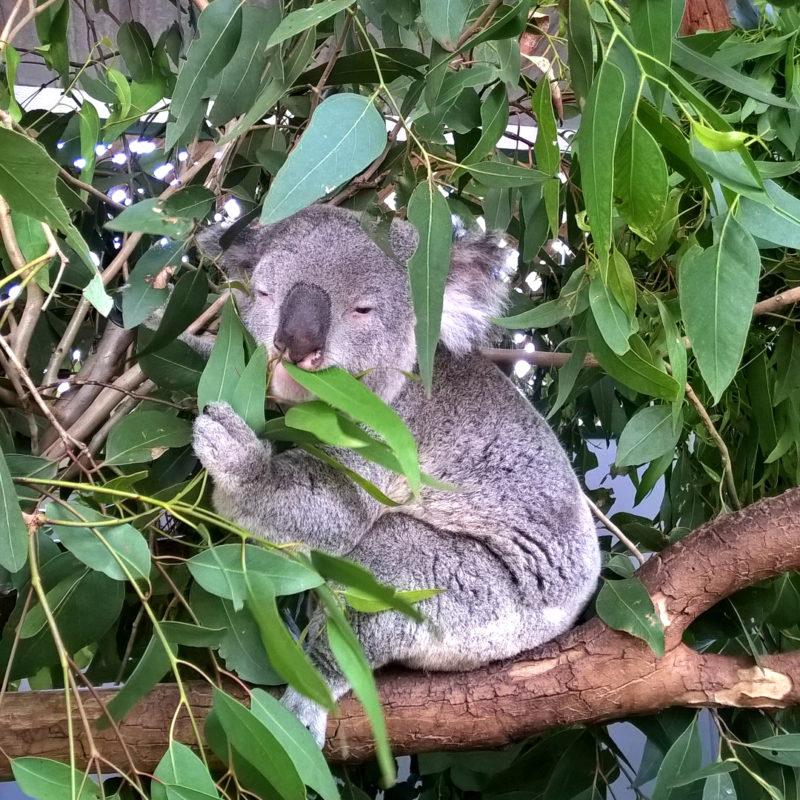 Коалы в Австралии. Скандалы, интриги, расследования