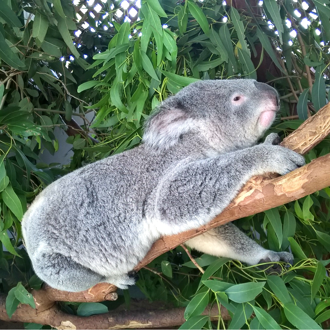 коалы в Австралии